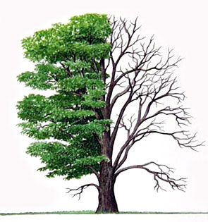 American_Chestnut_Tree